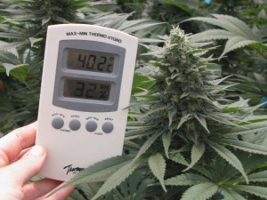 Temperature for cultivating cannabis