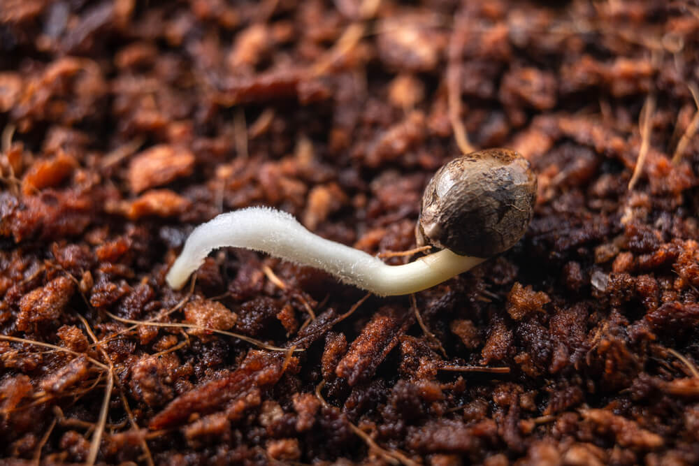 Planting from seed and other ways to germinate weed seeds