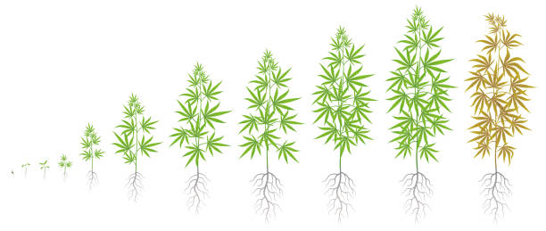 The Growth Cycle of hemp plant.
